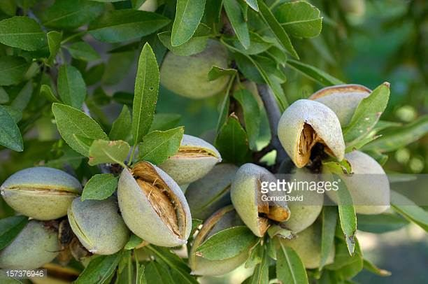 Almond Tree 0003.jpg