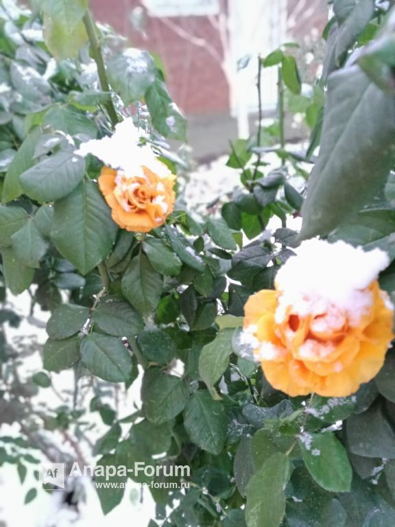 роза в снегу2.jpeg