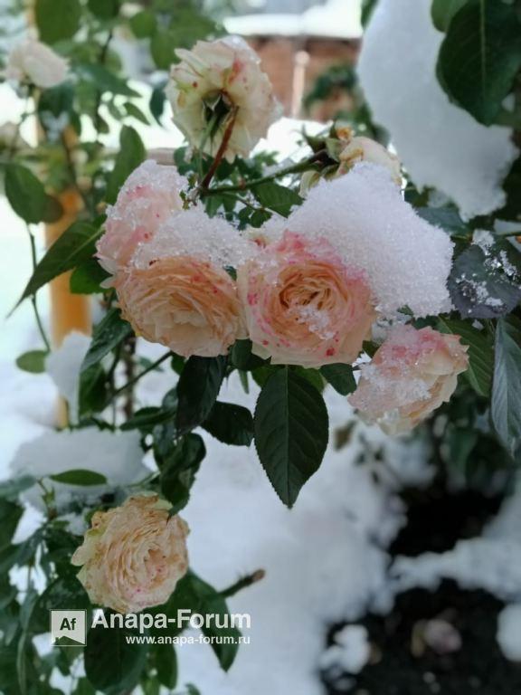 роза в снегу3.jpeg