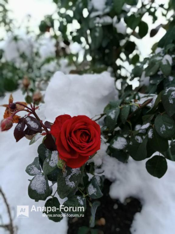 роза в снегу.jpeg