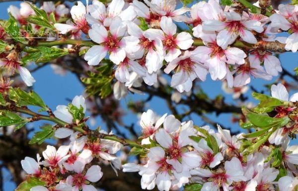 Almond Tree 000.jpg