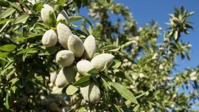 Almond Tree 001.jpg