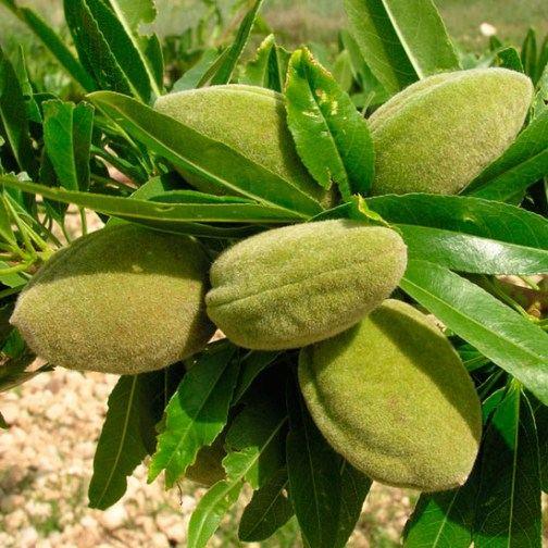 Almond Tree 002.jpg
